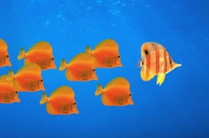 School of Orange Fish Following Leader